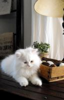 Munchkin Cats for sale in Fort Smith, AR, USA. price: NA