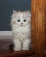 Munchkin Cats for sale in Hartford, CT, USA. price: NA