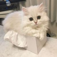 Munchkin Cats for sale in Boise, ID, USA. price: NA