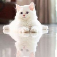 Munchkin Cats for sale in Overland Park, KS, USA. price: NA