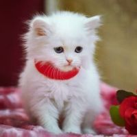 Munchkin Cats for sale in New Orleans, LA, USA. price: NA