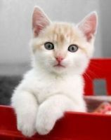Munchkin Cats for sale in Portland, ME, USA. price: NA