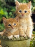 Munchkin Cats for sale in Baltimore, MD, USA. price: NA