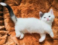 Munchkin Cats for sale in Kansas City, MO, USA. price: NA