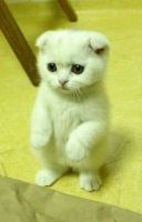 Munchkin Cats for sale in Billings, MT, USA. price: NA