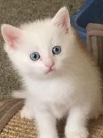 Munchkin Cats for sale in Manchester, NH, USA. price: NA