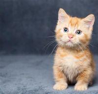 Munchkin Cats for sale in Oklahoma City, OK, USA. price: NA