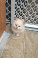 Munchkin Cats for sale in Cincinnati, OH, USA. price: NA