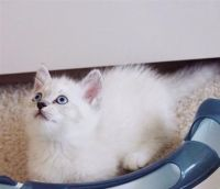 Munchkin Cats for sale in Providence, RI, USA. price: NA