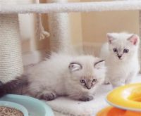 Munchkin Cats for sale in Columbia, SC, USA. price: NA