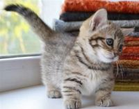 Munchkin Cats for sale in Sioux Falls, SD, USA. price: NA