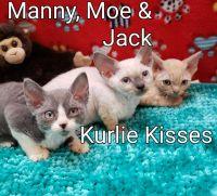 Munchkin Cats for sale in Philadelphia, PA, USA. price: NA