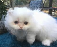 Munchkin Cats for sale in Pensacola Beach, FL, USA. price: NA