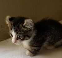 Munchkin Cats for sale in Davenport, FL, USA. price: NA