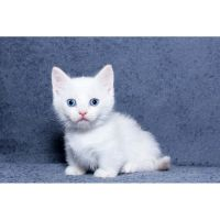 Munchkin Cats for sale in New York, NY, USA. price: NA