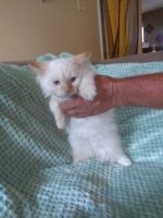 Munchkin Cats for sale in Sulphur Springs, TX 75482, USA. price: NA