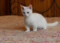 Munchkin Cats for sale in New Caney, TX 77357, USA. price: NA