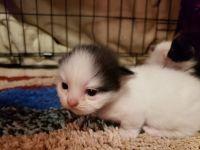 Munchkin Cats for sale in Dublin, GA 31021, USA. price: NA