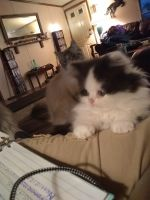 Munchkin Cats for sale in Cecilia, KY 42724, USA. price: NA