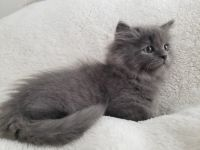 Munchkin Cats for sale in Manitowoc, WI 54220, USA. price: NA