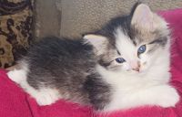 Munchkin Cats for sale in Apache Junction, AZ 85119, USA. price: NA