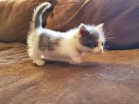 Munchkin Cats for sale in Hobbs, NM, USA. price: NA