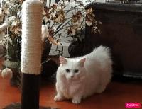Munchkin Cats for sale in Sacramento, CA 95821, USA. price: NA