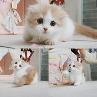 Munchkin Cats for sale in Oakland, NJ 07436, USA. price: NA