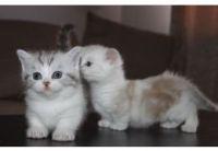 Munchkin Cats for sale in Atlanta, GA, USA. price: NA
