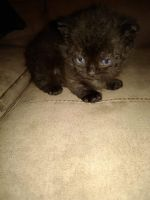 Munchkin Cats for sale in Norwalk, OH 44857, USA. price: NA