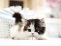 Munchkin Cats for sale in California City, CA, USA. price: NA