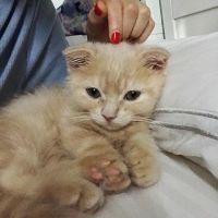 Munchkin Cats for sale in Daytona Beach, FL, USA. price: NA