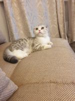 Munchkin Cats for sale in Louisiana, MO 63353, USA. price: NA