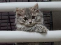 Munchkin Cats for sale in Lakeside, OR, USA. price: NA