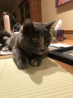 Munchkin Cats for sale in Champlin, MN 55316, USA. price: NA