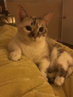 Munchkin Cats for sale in Rockmart, GA 30153, USA. price: NA
