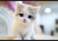Munchkin Cats for sale in Los Angeles, CA 90011, USA. price: NA