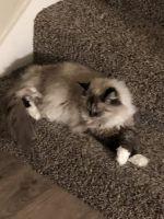 Munchkin Cats for sale in Omaha, NE, USA. price: NA
