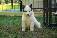 Native American Indian Dog Puppies Photos