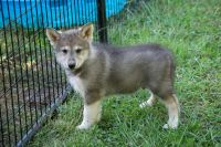 Native American Indian Dog Puppies for sale in Valparaiso, IN, USA. price: NA