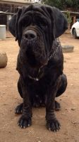 Neapolitan Mastiff Puppies for sale in Riverside, CA, USA. price: NA