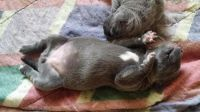 Neapolitan Mastiff Puppies for sale in Texas City, TX, USA. price: NA