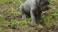 Neapolitan Mastiff Puppies for sale in Birmingham, AL, USA. price: NA