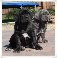 Neapolitan Mastiff Puppies for sale in Fayetteville, NC, USA. price: NA