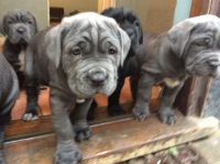 Neapolitan Mastiff Puppies for sale in Rialto, CA, USA. price: NA