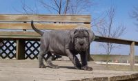 Neapolitan Mastiff Puppies for sale in Pittsburgh, PA, USA. price: NA