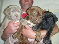 Neapolitan Mastiff Puppies for sale in Carlsbad, CA, USA. price: NA