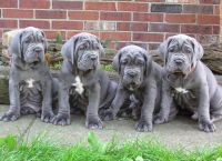 Neapolitan Mastiff Puppies for sale in San Diego, CA, USA. price: NA
