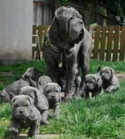Neapolitan Mastiff Puppies for sale in Topeka, KS, USA. price: NA