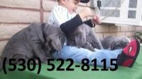 Neapolitan Mastiff Puppies for sale in Montgomery, AL, USA. price: NA